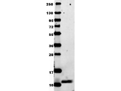 CCL3 / MIP-1-Alpha Antibody - Anti-Mouse MIP-1a Antibody - Western Blot. Anti-mouse MIP-1a in western blot shows detection of recombinant mouse MIP-1a/Ccl3 raised in E. coli. Recombinant truncated (0.1 ug, 7.8 kD) protein was loaded onto and resolved by SDS-PAGE, then transferred to nitrocellulose. The membrane was blocked with 1% BSA in TBST for 30 min at RT, followed by incubation with Anti-Mouse MIP-1a/Ccl3. After washing, membrane was probed with secondary antibody Dylight 649 Conjugated Anti-Rabbit IgG (H&L) (Goat) Antibody ( diluted 1:20000 in blocking buffer (MB-070) for 30 min. at RT. Data was collected using Bio-Rad VersaDoc 4000 MP imaging system.