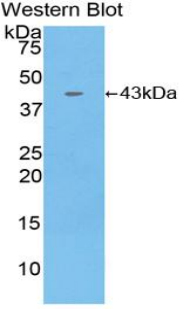 Western blot of recombinant CCL4 / SYCA4.  This image was taken for the unconjugated form of this product. Other forms have not been tested.