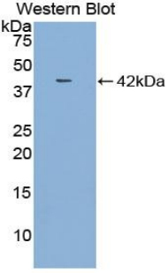 CCL4 / MIP-1 Beta Antibody - Western blot of recombinant CCL4 / SYCA4.  This image was taken for the unconjugated form of this product. Other forms have not been tested.