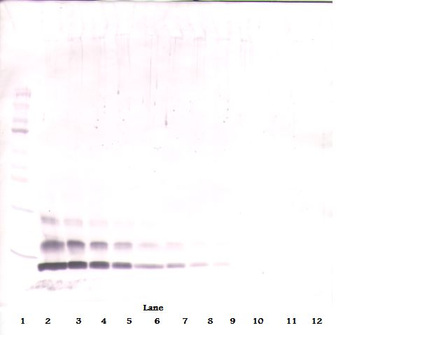 Western Blot (reducing) of CCL4 antibody. This image was taken for the unconjugated form of this product. Other forms have not been tested.
