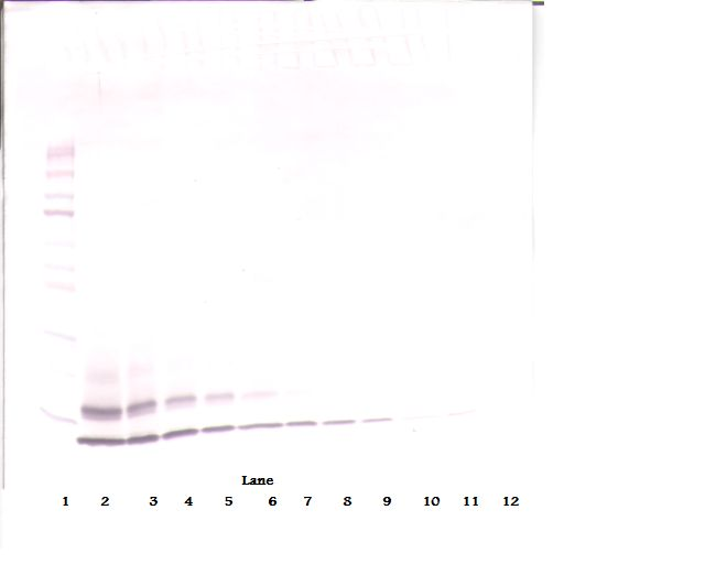 Western Blot (non-reducing) of CCL4 antibody. This image was taken for the unconjugated form of this product. Other forms have not been tested.