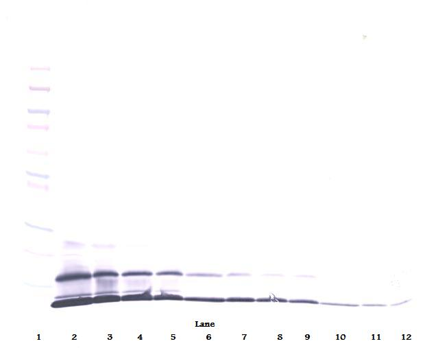 CCL8 / MCP2 Antibody - Anti-Murine MCP-2 (CCL8) Western Blot Reduced