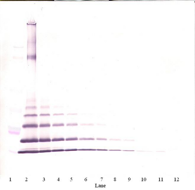 CCL8 / MCP2 Antibody - Anti-Murine MCP-2 (CCL8) Western Blot Unreduced