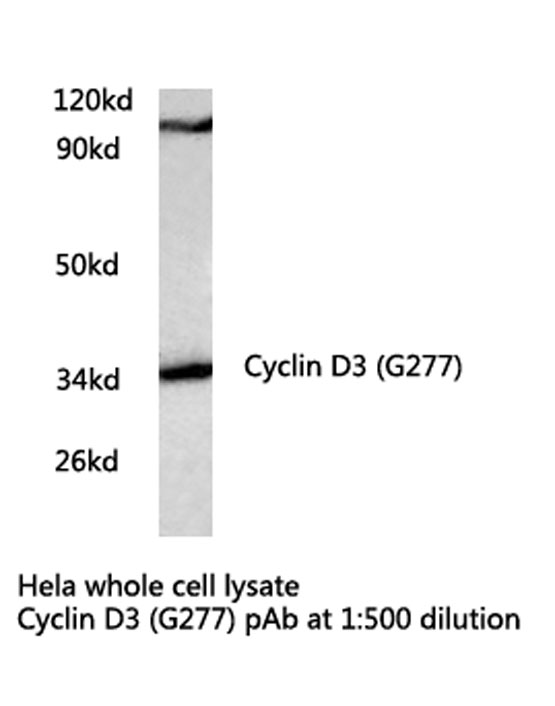 Western blot of Cyclin D3 (G277) pAb in extracts from HeLa cells.