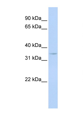 CCNG1 / Cyclin G antibody LS-C112291 Western blot of MCF7 Cell lysate. Antibody concentration 1 ug/ml.  This image was taken for the unconjugated form of this product. Other forms have not been tested.