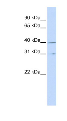 CCNH / Cyclin H antibody LS-C102865 Western blot of MCF7 cell lysate.  This image was taken for the unconjugated form of this product. Other forms have not been tested.