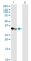 Western blot of CCNH expression in transfected 293T cell line. Lane1: CCNH transfected lysate (37.6 KDa). Lane 2: Non-transfected lysate.