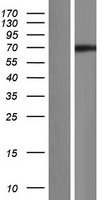 CCNK Protein - Western validation with an anti-DDK antibody * L: Control HEK293 lysate R: Over-expression lysate