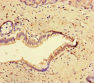 Immunohistochemistry of paraffin-embedded human pancreatic tissue at dilution of 1:100