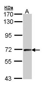 CCNT2 / Cyclin T2 Antibody - Sample (30 ug of whole cell lysate). A: Hep G2 . 7.5% SDS PAGE. CCNT2 antibody diluted at 1:1000.