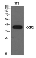 CCR2 Antibody - Western Blot analysis of extracts from NIH-3T3 cells using CCR2 Antibody.