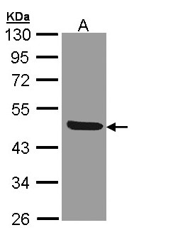 Sample (30 ug of whole cell lysate). A:293T. 10% SDS PAGE. CD121b / IL1R2 antibody diluted at 1:1000