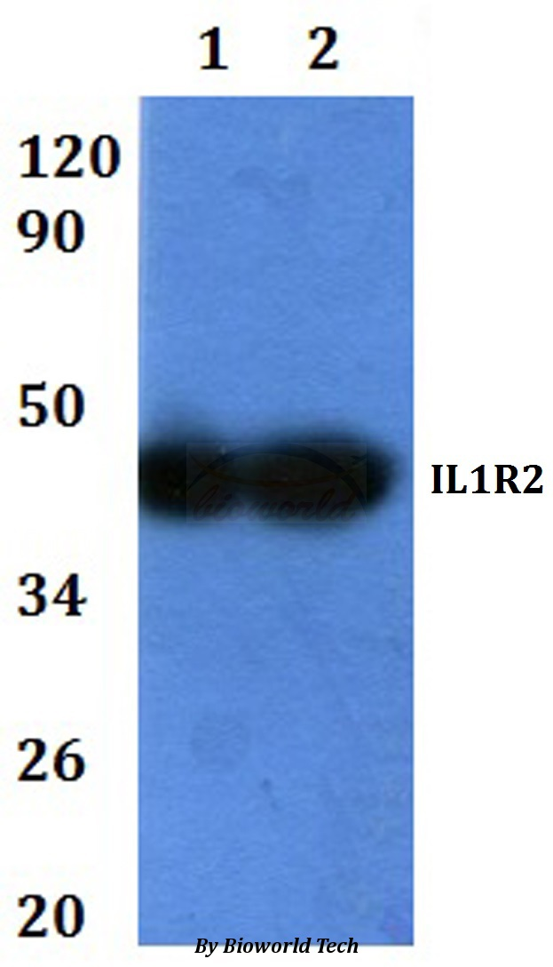 Western blot of IL1R2 antibody at 1:500 dilution. Lane 1: HEK293T whole cell lysate. Lane 2: RAW264.7 whole cell lysate.
