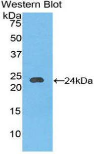 CD144 / CDH5 / VE Cadherin Antibody - Western blot of recombinant CD144 / CDH5 / VE Cadherin.  This image was taken for the unconjugated form of this product. Other forms have not been tested.
