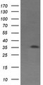 HEK293T cells were transfected with the pCMV6-ENTRY control (Left lane) or pCMV6-ENTRY CD1C (Right lane) cDNA for 48 hrs and lysed. Equivalent amounts of cell lysates (5 ug per lane) were separated by SDS-PAGE and immunoblotted with anti-CD1C.