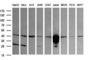 Western blot of extracts (35 ug) from 9 different cell lines by using anti-CD1C monoclonal antibody (HepG2: human; HeLa: human; SVT2: mouse; A549: human; COS7: monkey; Jurkat: human; MDCK: canine; PC12: rat; MCF7: human).