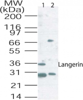 Western blot of langerin in mouse lung tissue lysate using 2 ug/ml of antibody. Lane 1, Without blocking peptide; Lane 2, With blocking peptide.