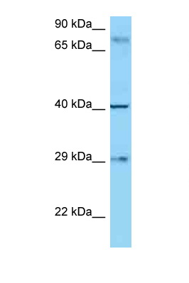 CD274 / B7-H1 antibody Western blot of 8226 Cell lysate. Antibody concentration 1 ug/ml.  This image was taken for the unconjugated form of this product. Other forms have not been tested.