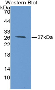 Western blot of recombinant B7-H1 / PD-L1 / CD274.