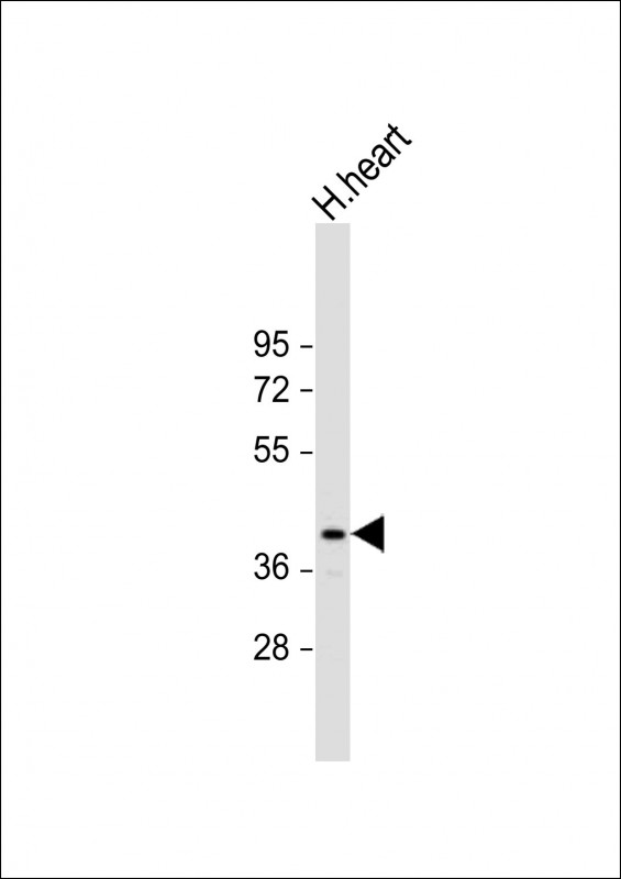 Anti-PD L1 Antibody (C-Term) at 1:1000 dilution + Human heart whole cell lysate Lysates/proteins at 20 µg per lane. Secondary Goat Anti-Rabbit IgG, (H+L), Peroxidase conjugated at 1/10000 dilution. Predicted band size: 44 kDa Blocking/Dilution buffer: 5% NFDM/TBST.