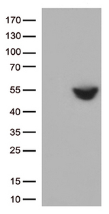 CD274 / B7-H1 / PD-L1 Antibody - HEK293T cells were transfected with the pCMV6-ENTRY control. (Left lane) or pCMV6-ENTRY CD274. (Right lane) cDNA for 48 hrs and lysed. Equivalent amounts of cell lysates. (5 ug per lane) were separated by SDS-PAGE and immunoblotted with anti-CD274. (1:500)