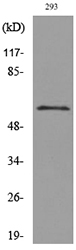 CD276 / B7-H3 Antibody - Western blot analysis of lysate from 293 cells, using CD276 Antibody.