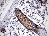 IHC of paraffin-embedded Human colon tissue using anti-TNFRSF8 mouse monoclonal antibody. (heat-induced epitope retrieval by 1 mM EDTA in 10mM Tris, pH8.5, 120°C for 3min).