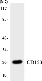 Western blot analysis of the lysates from K562 cells using CD153 antibody.