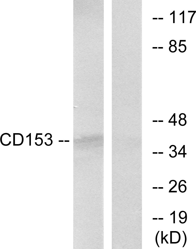 Western blot analysis of lysates from RAW264.7 cells, using CD153 Antibody. The lane on the right is blocked with the synthesized peptide.