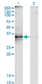 Western Blot analysis of TNFSF8 expression in transfected 293T cell line by TNFSF8 monoclonal antibody (M01A), clone 2E11.Lane 1: TNFSF8 transfected lysate (Predicted MW: 26 KDa).Lane 2: Non-transfected lysate.