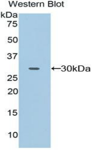 Western blot of recombinant FCGR2A / CD32A.  This image was taken for the unconjugated form of this product. Other forms have not been tested.