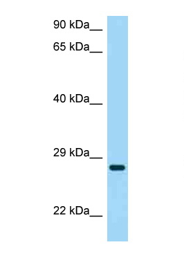CD37 antibody Western blot of HeLa Cell lysate. Antibody concentration 1 ug/ml.  This image was taken for the unconjugated form of this product. Other forms have not been tested.