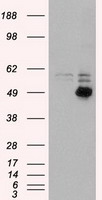 CD4 Antibody - HEK293T cells were transfected with the pCMV6-ENTRY control (Left lane) or pCMV6-ENTRY CD4 (Right lane) cDNA for 48 hrs and lysed. Equivalent amounts of cell lysates (5 ug per lane) were separated by SDS-PAGE and immunoblotted with anti-CD4.