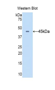 CD40L Antibody - Western blot of recombinant CD40LG / CD40L / CD154.  This image was taken for the unconjugated form of this product. Other forms have not been tested.