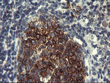 IHC of paraffin-embedded Human tonsil using anti-PTPRC mouse monoclonal antibody.