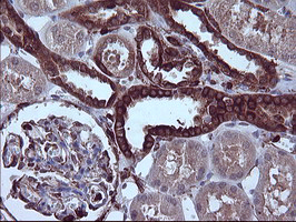 IHC of paraffin-embedded Human Kidney tissue using anti-PTPRC mouse monoclonal antibody.
