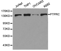 Western blot of extracts of various cell lines, using PTPRC antibody.