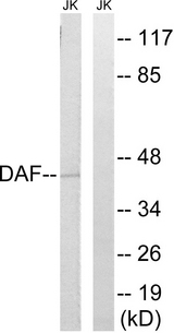 Western blot analysis of lysates from Jurkat cells, using CD55 Antibody. The lane on the right is blocked with the synthesized peptide.