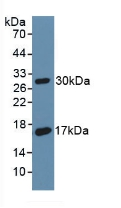 Western Blot; Sample: Recombinant DAF, Rat.