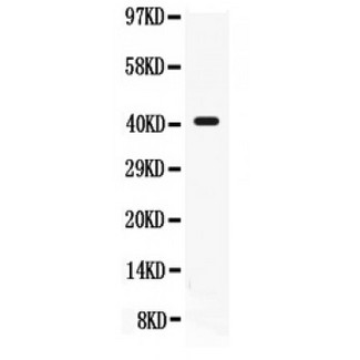 CD55 antibody Western blot. All lanes: Anti CD55 at 0.5 ug/ml. WB: K562 Whole Cell Lysate at 40 ug. Predicted band size: 41 kD. Observed band size: 41 kD.