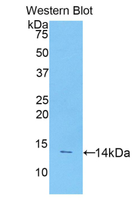 Western blot of recombinant CD55.  This image was taken for the unconjugated form of this product. Other forms have not been tested.