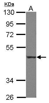 Sample (30 ug of whole cell lysate). A: THP-1. 10% SDS PAGE. CD55 antibody diluted at 1:1000.