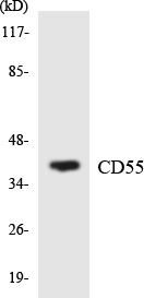 Western blot analysis of the lysates from 293 cells using CD55 antibody.