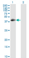 Western Blot analysis of CD55 expression in transfected 293T cell line by DAF monoclonal antibody (M01), clone 1G3.Lane 1: CD55 transfected lysate(41.4 KDa).Lane 2: Non-transfected lysate.