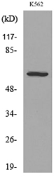 Western blot analysis of lysate from K562 cells, using CD55 Antibody.