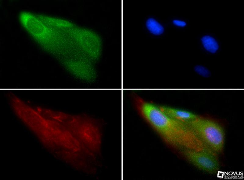 Immunocytochemistry/Immunofluorescence: CD57 Antibody - CD57 antibody was tested in U2OS cells with FITC (green). Nuclei and alpha-tubulin were counterstained with DAPI (blue) and Dylight 550 (red).  This image was taken for the unconjugated form of this product. Other forms have not been tested.