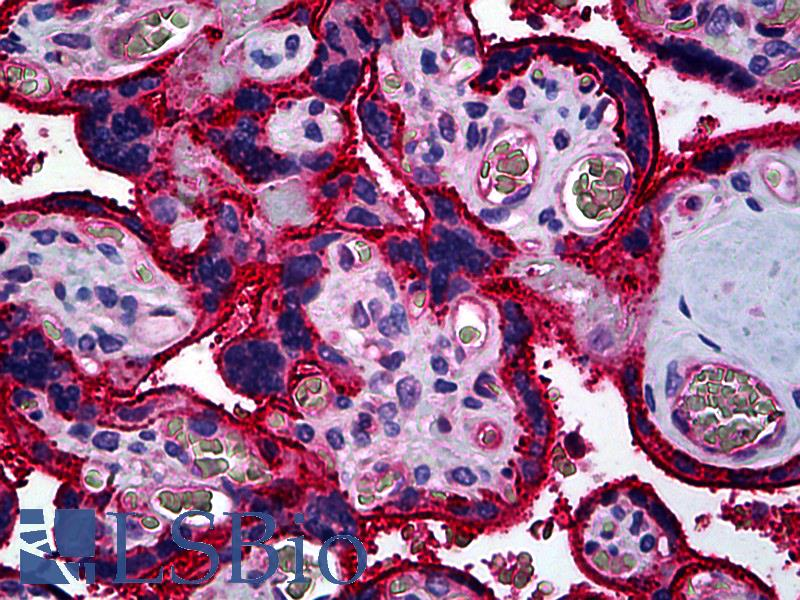 Anti-CD59 antibody IHC of human placenta. Immunohistochemistry of formalin-fixed, paraffin-embedded tissue after heat-induced antigen retrieval. Antibody LS-B5245 concentration 10 ug/ml.  This image was taken for the unconjugated form of this product. Other forms have not been tested.