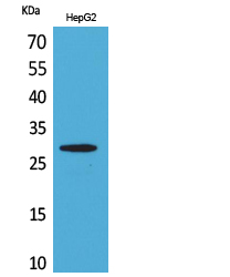 Western Blot analysis of extracts from HepG2 cells using CD69 Antibody.