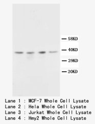 CD82 Antibody -  This image was taken for the unconjugated form of this product. Other forms have not been tested.