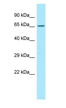 CD96 antibody Western Blot of HeLa.  This image was taken for the unconjugated form of this product. Other forms have not been tested.